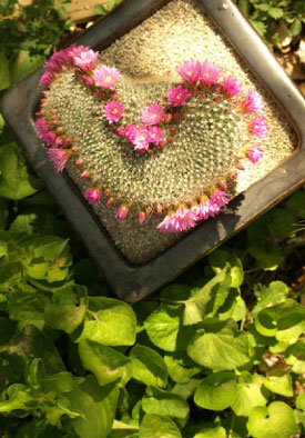 image of Crested Blooming Mammillaria